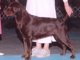 Champion Sadona's Brown Derby Chocolate Lab