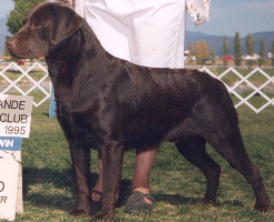 Champion Sadona's Tip'pin The Derby Chocolate Lab